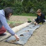 Plantation des poivrons