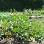 Courgettes en fleurs sous le soleil