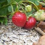 Les fraises sucrées