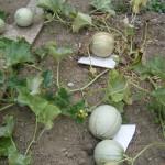 Les melons sont presque mûrs!