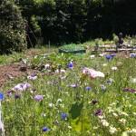 Jachère fleurie pour les pollinisateurs